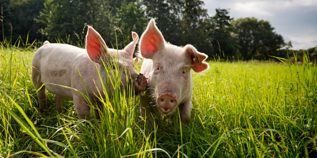 piglets on outdoor farm - top rated financial planners in farmington ct